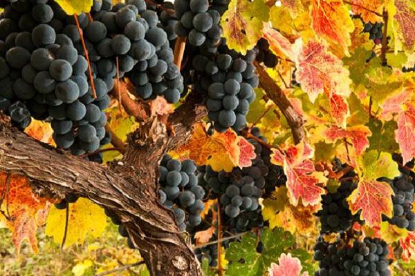 Georgien Wiege des Weins